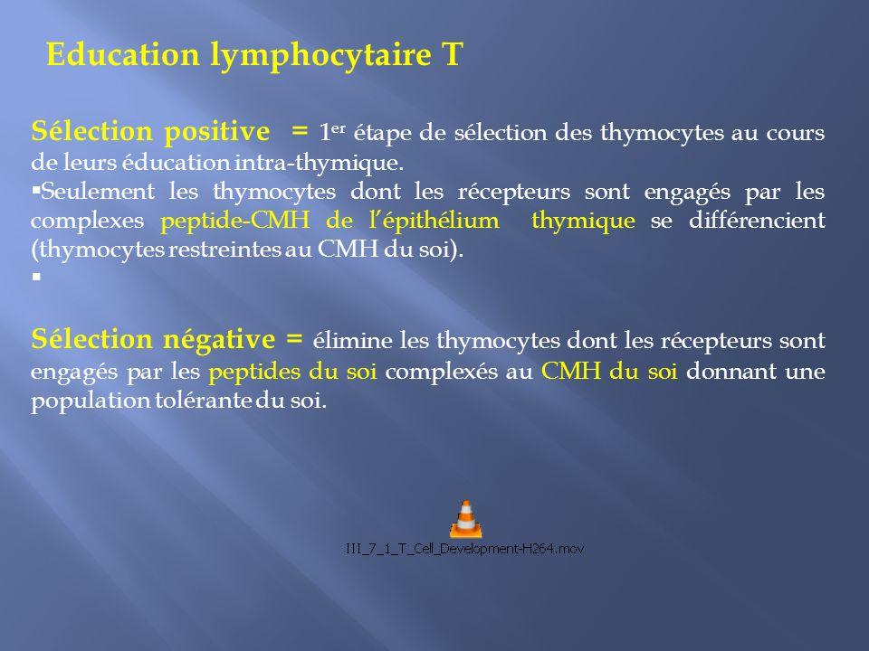 Sélection positive = 1 er étape de sélection des thymocytes au cours de leurs éducation intra-thymique.