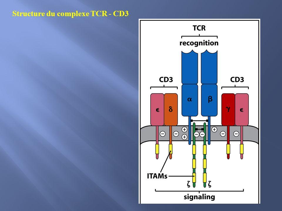 Dans les LymT inactives les ITAMs ne sont pas phosphorylés La fixation du complexe CMH: peptide au récepteur, induit la phosphorylation des ITAM par les kinases associées aux récepteurs ZAP-70 se fixe à la chaîne ζ des ITAMS.
