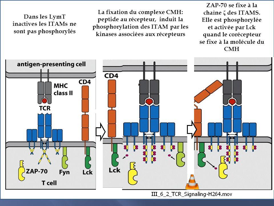 Différentiation et polarisation des profils de lymphocytes T CD4+