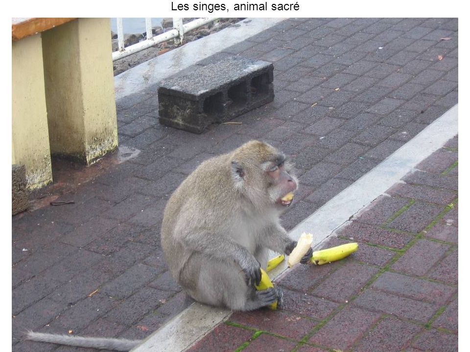Les singes, animal sacré