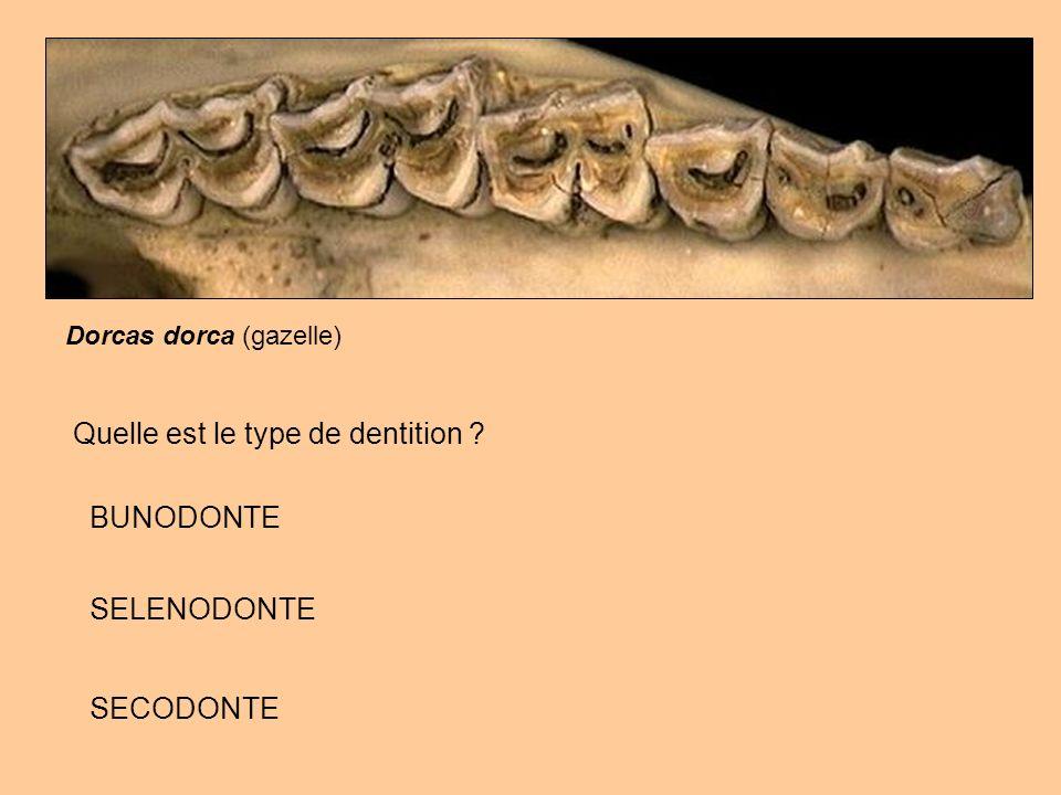 Dorcas dorca (gazelle) Quelle est le type de dentition ? BUNODONTE SELENODONTE SECODONTE