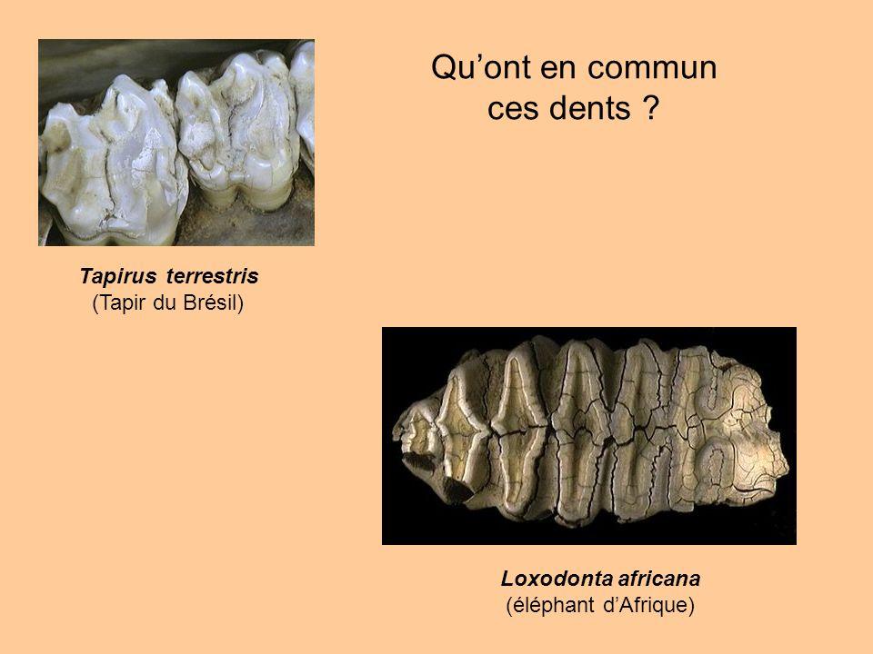 Loxodonta africana (éléphant dAfrique) Tapirus terrestris (Tapir du Brésil) Quont en commun ces dents ?