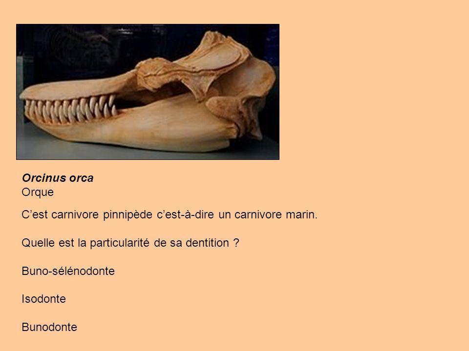 Orcinus orca Orque Cest carnivore pinnipède cest-à-dire un carnivore marin. Quelle est la particularité de sa dentition ? Buno-sélénodonte Isodonte Bu