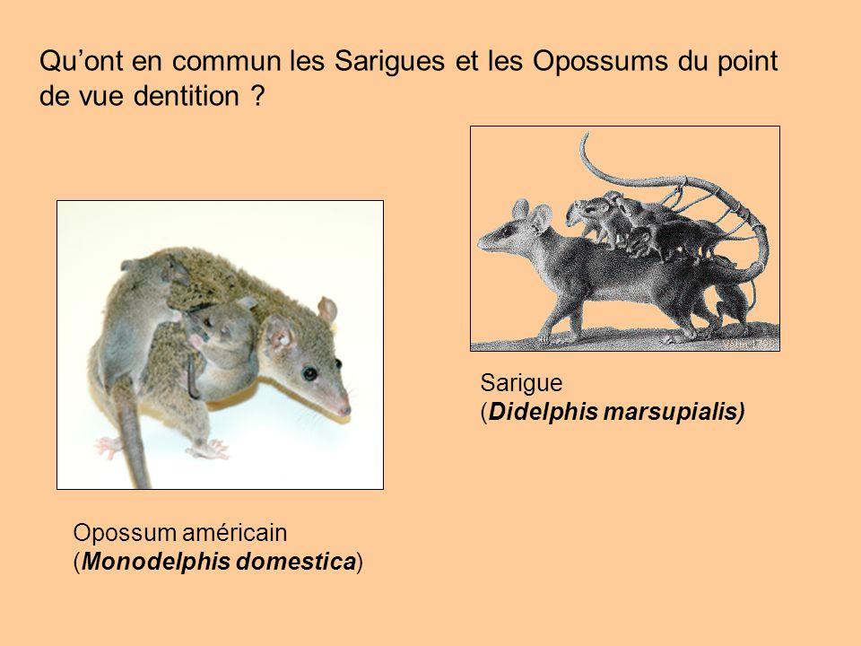 Quont en commun les Sarigues et les Opossums du point de vue dentition ? Opossum américain (Monodelphis domestica) Sarigue (Didelphis marsupialis)
