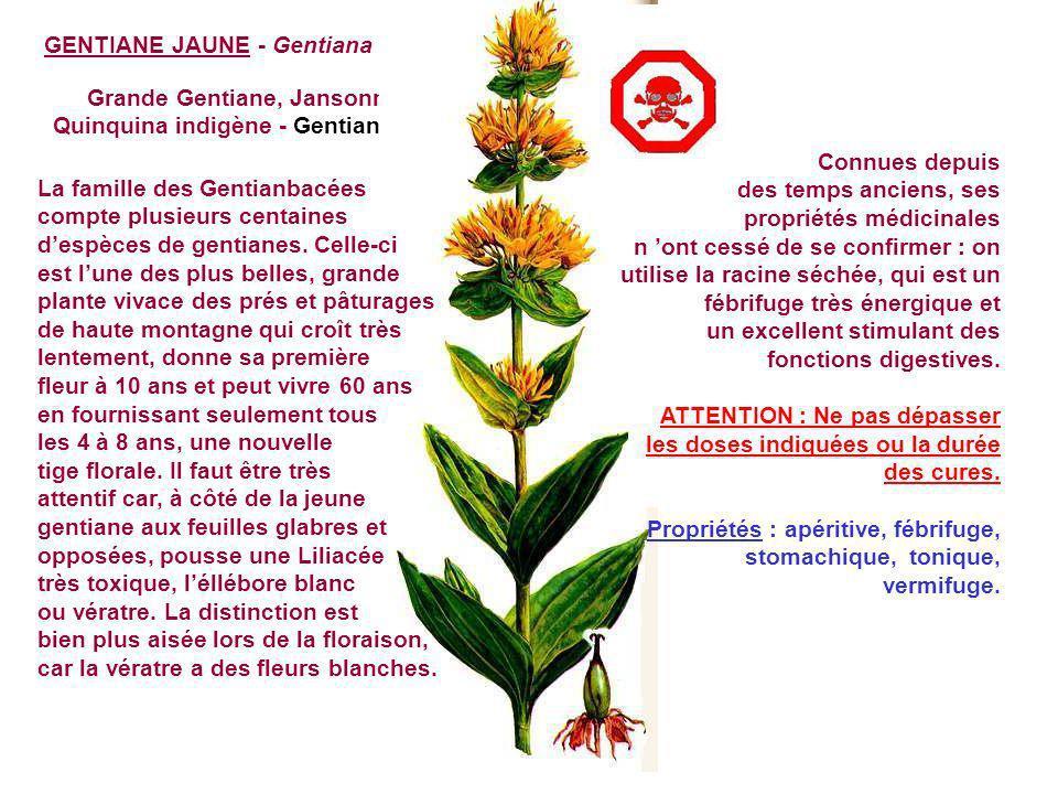 GENÊVRIER - Juniperus communis L. Genévrier commun, Genièvre, Petron, pétrot - Cupressacées On peut le rencontrer jusqu à 2 500m, mais dans ces zones
