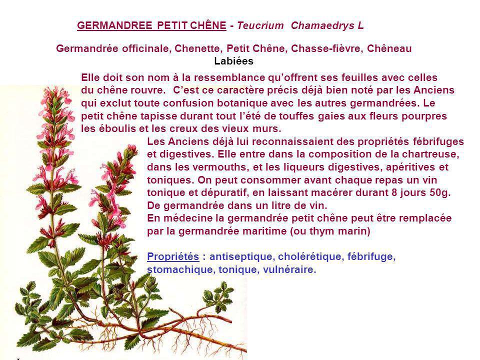 GERANIUM ROBERT - Geranium Robertanium Herbe à Robert, Bec-de-grue, Herbe à lesquinancie, Herbe rouge, Fourchette-du-diable, géranium - Géraniacèes Le