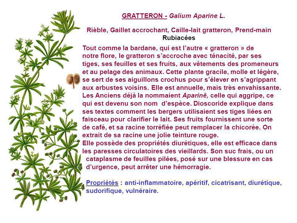 GRASSETTE - Pinguicula vulgaris L. Grassette vulgaire, Langue d oie Toute menue, brillante, blottie dans la fraîcheur des sources et cascades ou près