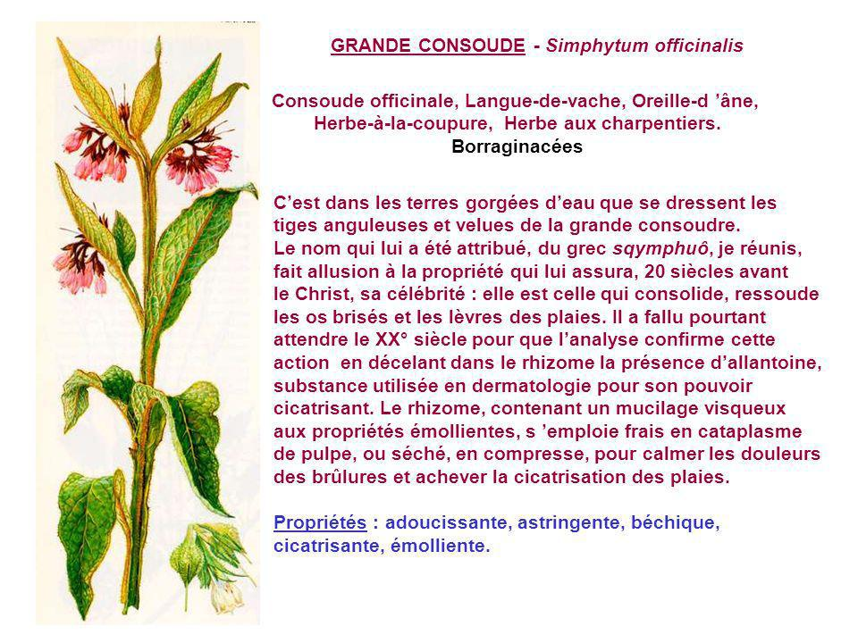 GRANDE CONSOUDE - Simphytum officinalis Consoude officinale, Langue-de-vache, Oreille-d âne, Herbe-à-la-coupure, Herbe aux charpentiers.
