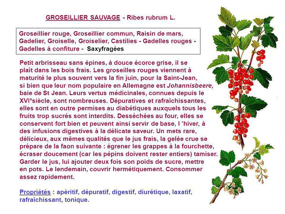 GROSEILLIER A MAQUEREAU - Ribes uva-crispa L. Groseillier raisin crépu, Groseillier épineux, Groseillier des haies, Groseillier à pointes Saxifragées