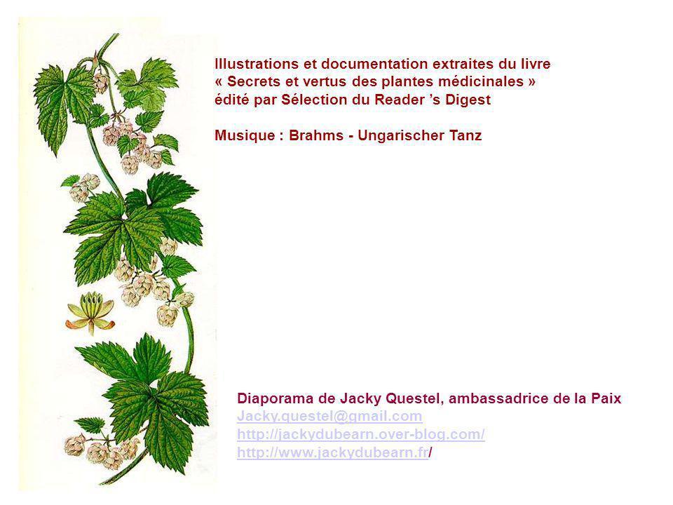 GROSEILLIER SAUVAGE - Ribes rubrum L. Groseillier rouge, Groseillier commun, Raisin de mars, Gadelier, Groiselle, Groiselier, Castilies - Gadelles rou