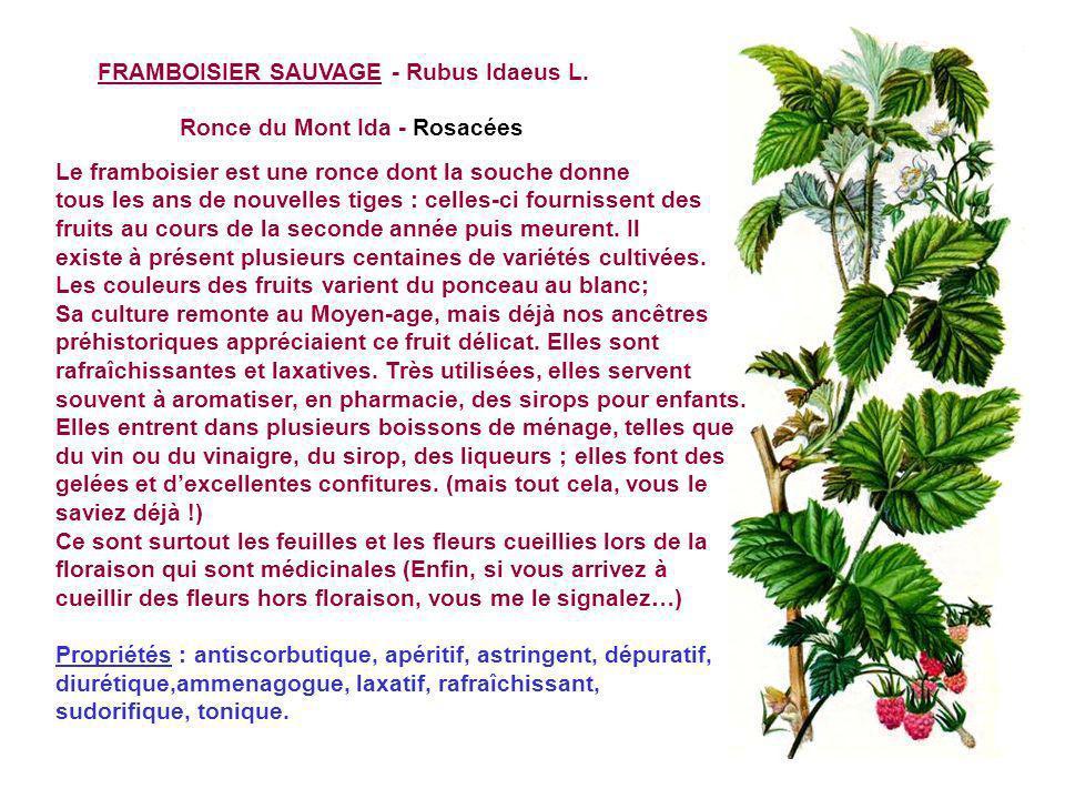 FRAISIER SAUVAGE - Fragaria vesca L Fraisier des bois, Capron, caperonnier - Rosacées Il peut être confondu, avant quil ne porte ses fruits, avec une