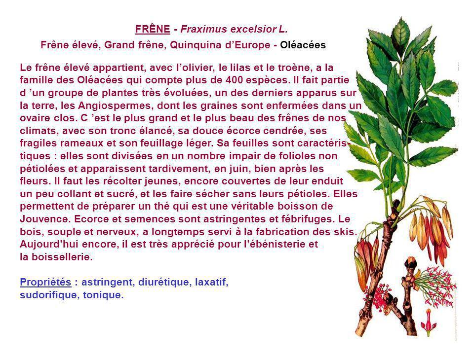FRAMBOISIER SAUVAGE - Rubus Idaeus L. Ronce du Mont Ida - Rosacées Le framboisier est une ronce dont la souche donne tous les ans de nouvelles tiges :