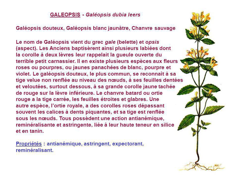 GALEOPSIS - Galéopsis dubia leers Galéopsis douteux, Galéopsis blanc jaunâtre, Chanvre sauvage Le nom de Galéopsis vient du grec gale (belette) et opsis (aspect).
