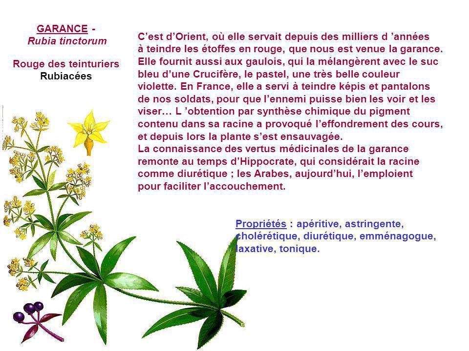 GALEOPSIS - Galéopsis dubia leers Galéopsis douteux, Galéopsis blanc jaunâtre, Chanvre sauvage Le nom de Galéopsis vient du grec gale (belette) et ops