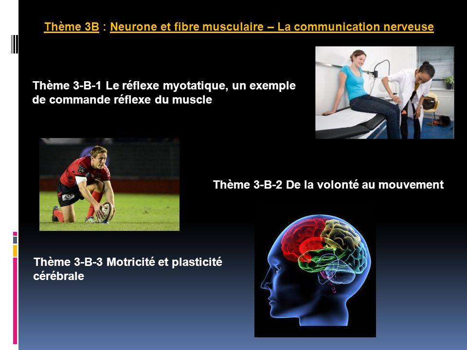 Thème 3B : Neurone et fibre musculaire – La communication nerveuse Thème 3-B-1 Le réflexe myotatique, un exemple de commande réflexe du muscle Thème 3