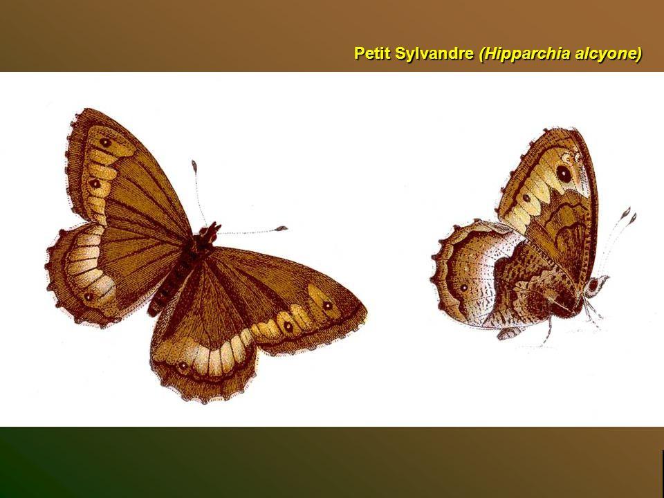 Sylvandre (Hipparchia fagi) Top diapo suivante