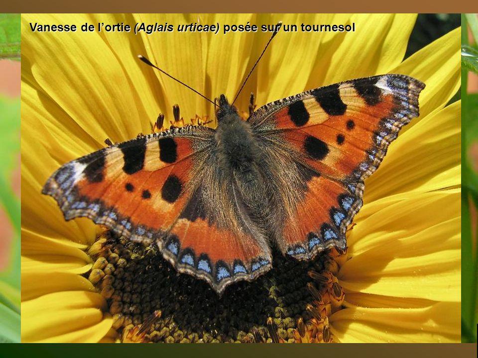 پروانه های اروپا Top diapo suivante
