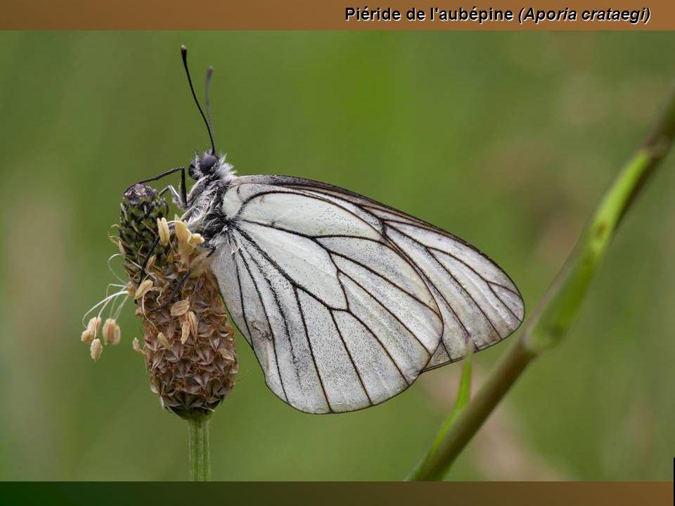 Vanesse de lortie (Aglais urticae) posée sur un tournesol Top diapo suivante