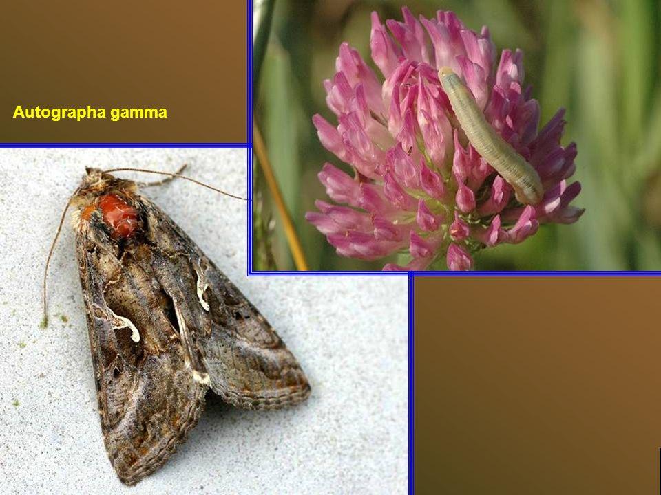 Cuivré mauvin ou grand argus bronzé (Lycaena alciphron) Top diapo suivante