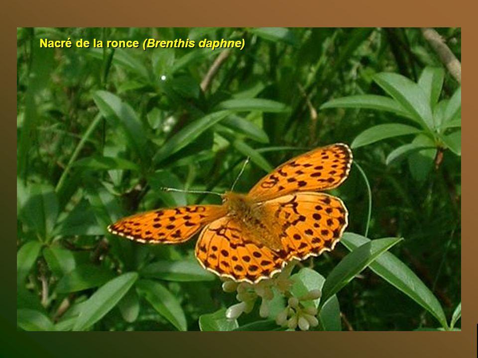 Callimorphe (Euplagia quadripunctaria) Top diapo suivante