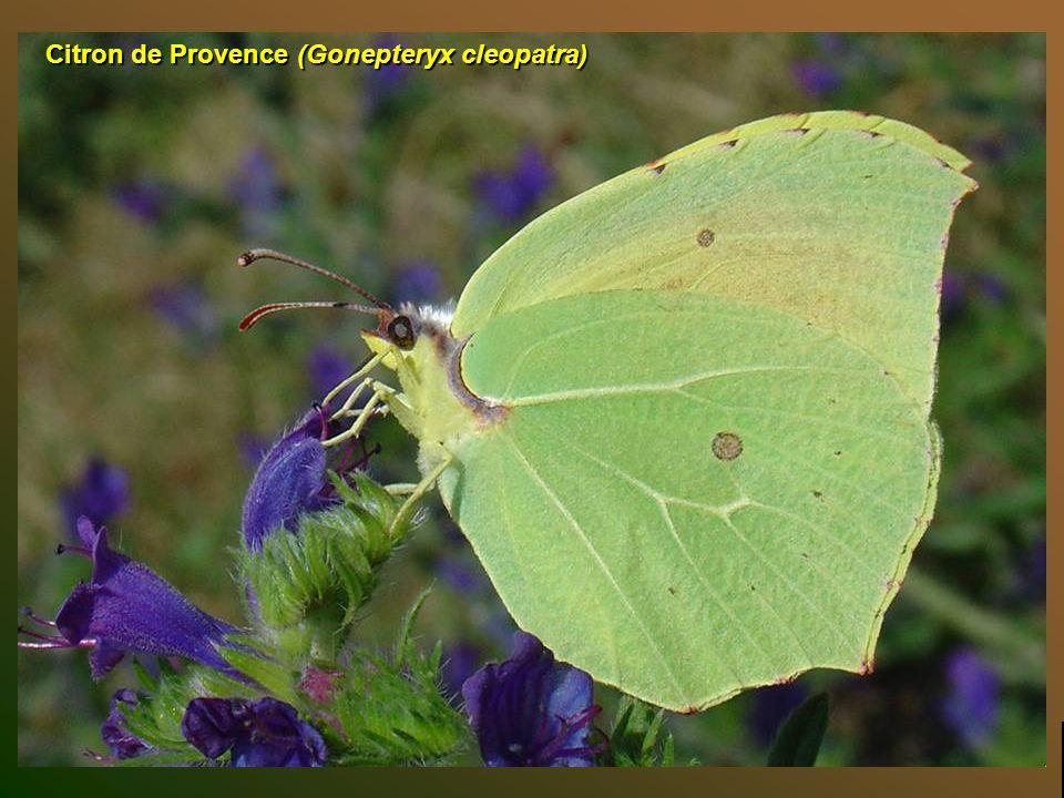 Citron de Provence (Gonepteryx cleopatra) Top diapo suivante