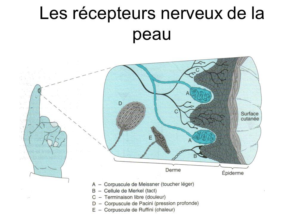 Les récepteurs nerveux de la peau