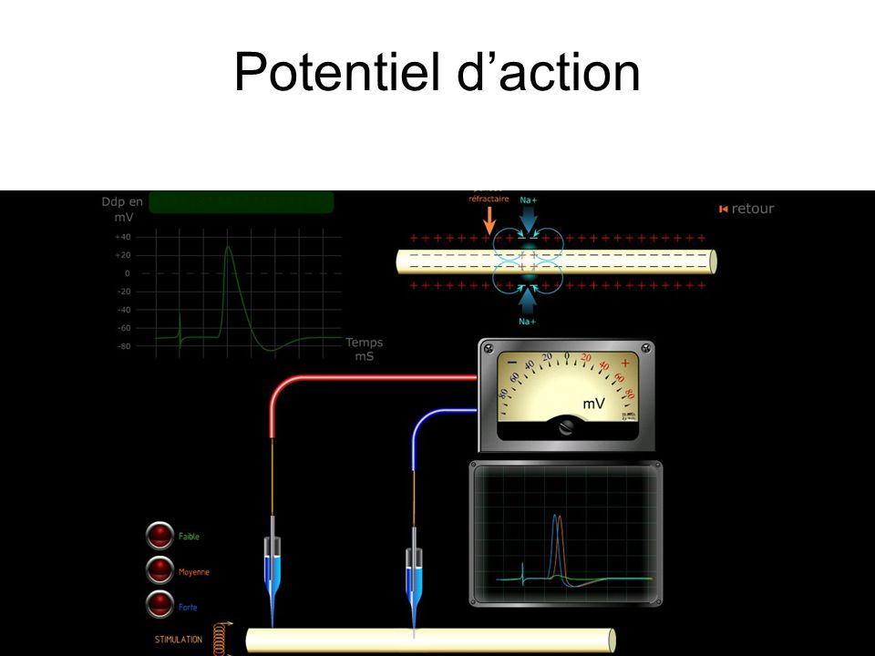 Potentiel daction