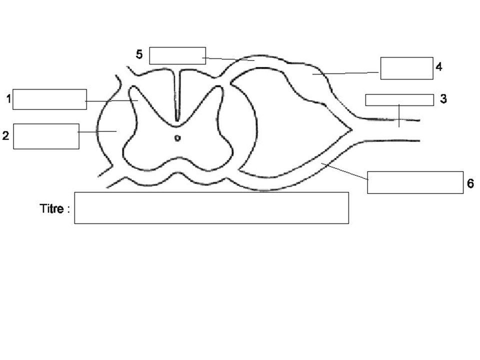 Des animations sur le fonctionnement de la synapse : Une simple : http://www.ac-nancy- metz.fr/enseign/svt/program/fichacti/ fich1s/synap2/pages/synap.htmhttp://www.ac-nancy- metz.fr/enseign/svt/program/fichacti/ fich1s/synap2/pages/synap.htm Une plus complexe : http://www.snv.jussieu.fr/vie/dossier s/synapse/synapse.htm http://www.snv.jussieu.fr/vie/dossier s/synapse/synapse.htm