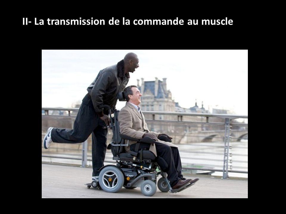II- La transmission de la commande au muscle