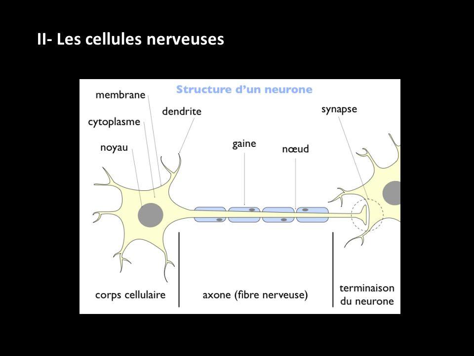 II- Les cellules nerveuses