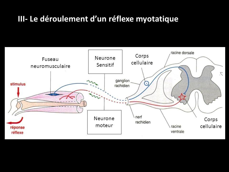 III- Le déroulement dun réflexe myotatique Fuseau neuromusculaire Neurone Sensitif Neurone moteur Corps cellulaire Corps cellulaire