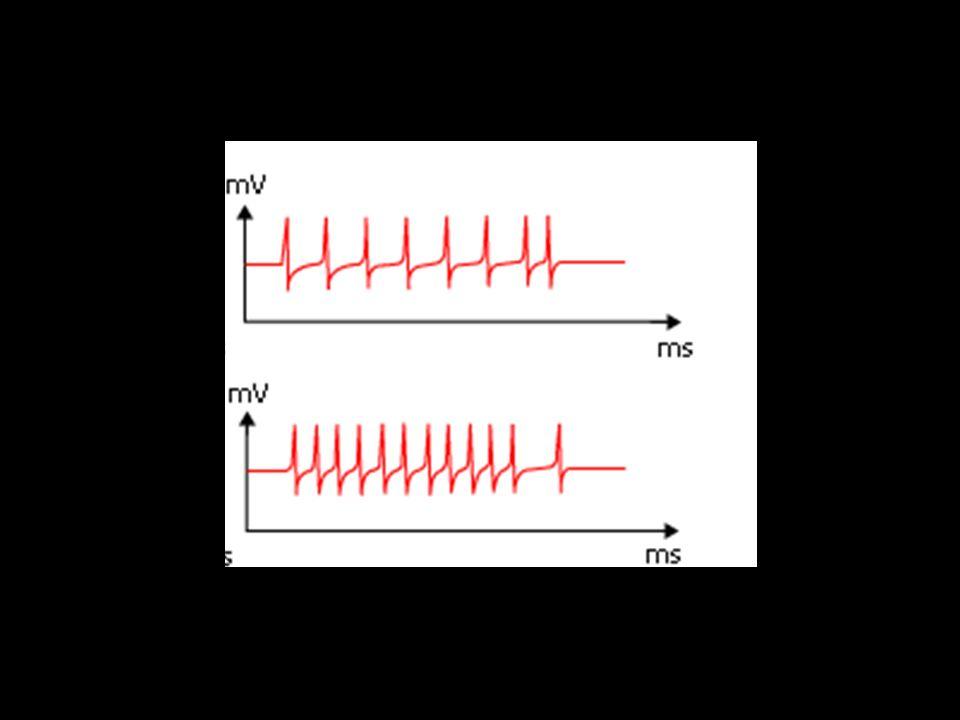 http://marina.miori.free.fr/exercices/synapse.htm 1) Dun neurone à lautre ou au muscle