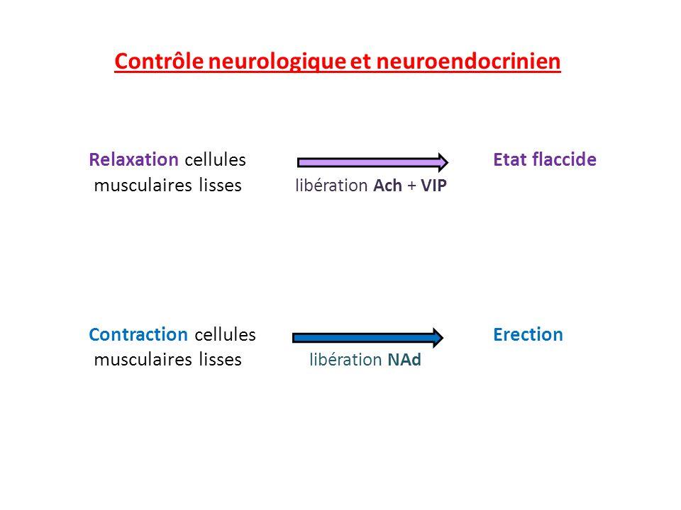 Contrôle neurologique et neuroendocrinien Relaxation cellules Etat flaccide musculaires lisses libération Ach + VIP Contraction cellules Erection musc