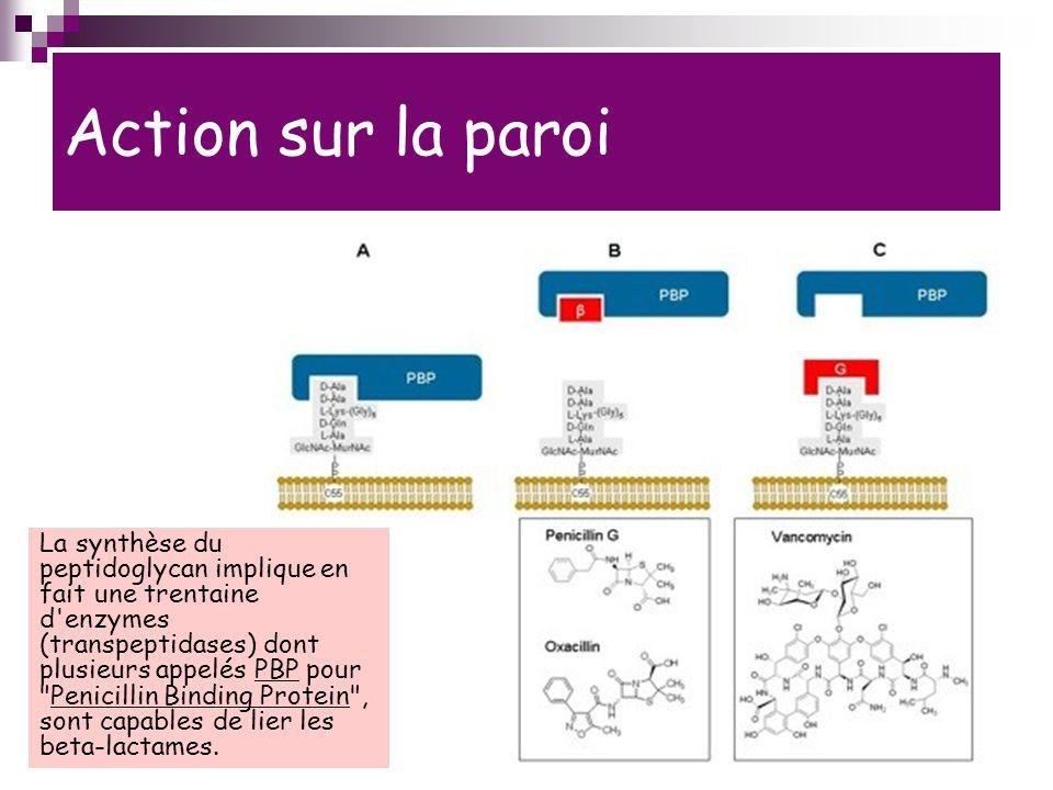 Action sur la paroi La synthèse du peptidoglycan implique en fait une trentaine d enzymes (transpeptidases) dont plusieurs appelés PBP pour Penicillin Binding Protein , sont capables de lier les beta-lactames.