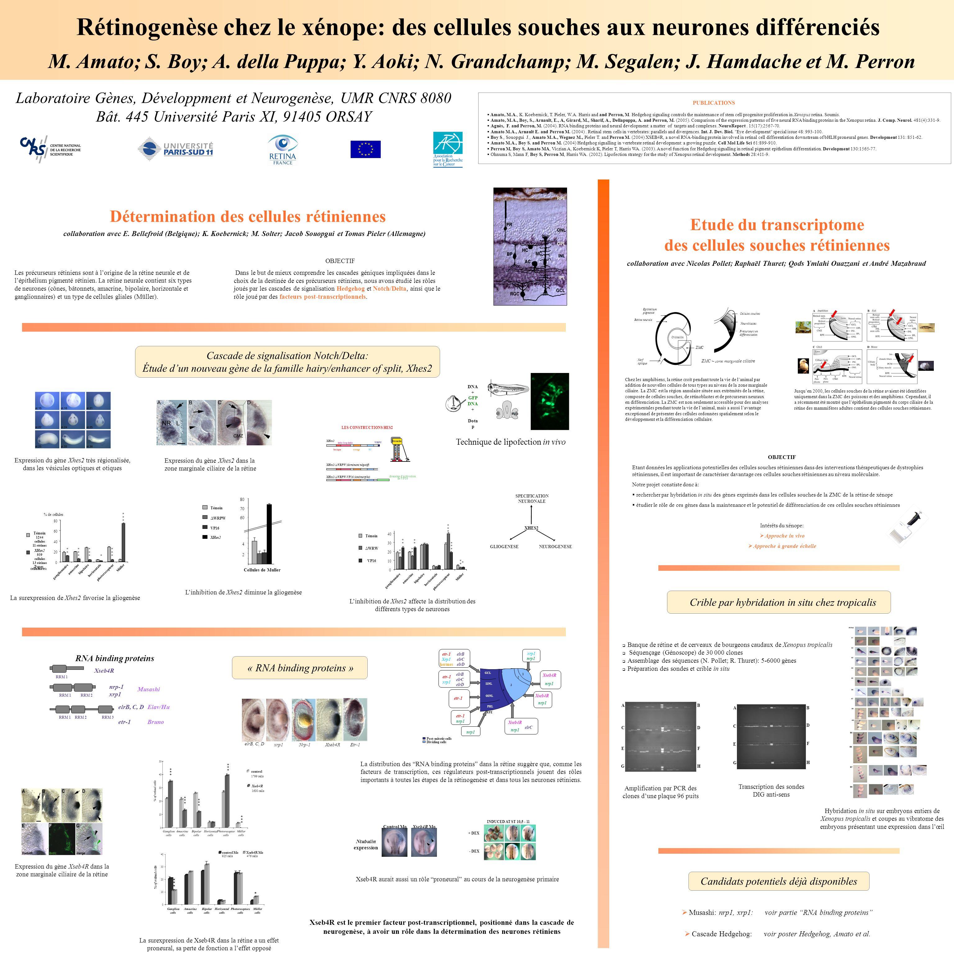 Cellules souches Neuroblastes Précurseurs en différenciation ZMC = zone marginale ciliaire ZMC Epithéliumpigmenté Rétine neurale Nerfoptique Cristalli