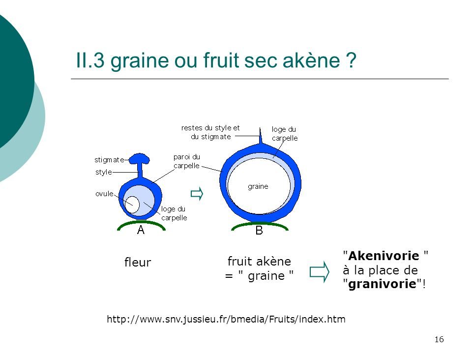 16 II.3 graine ou fruit sec akène .