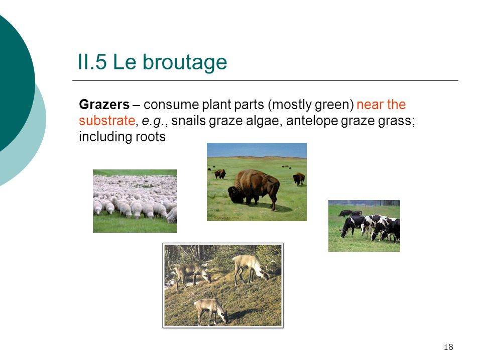 18 II.5 Le broutage Grazers – consume plant parts (mostly green) near the substrate, e.g., snails graze algae, antelope graze grass; including roots