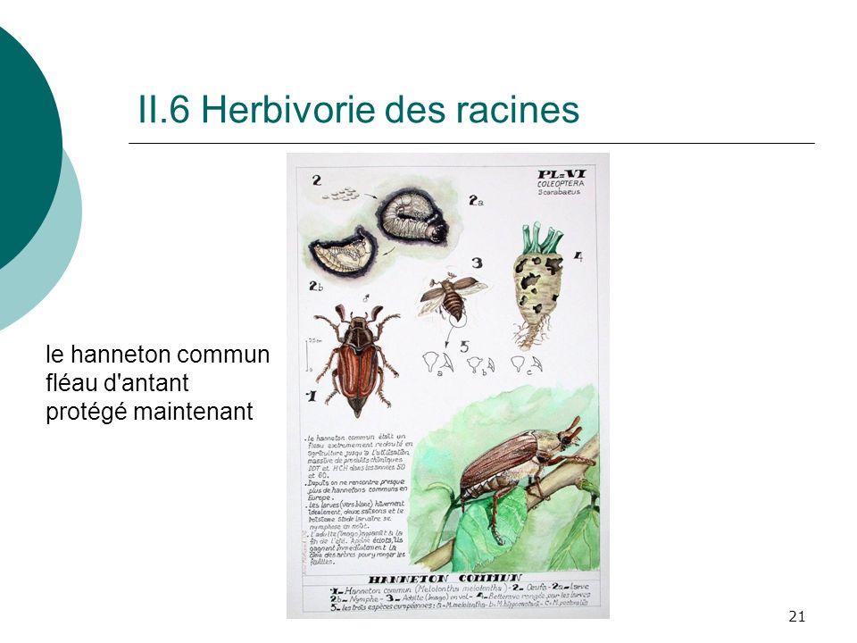 21 II.6 Herbivorie des racines le hanneton commun fléau d'antant protégé maintenant