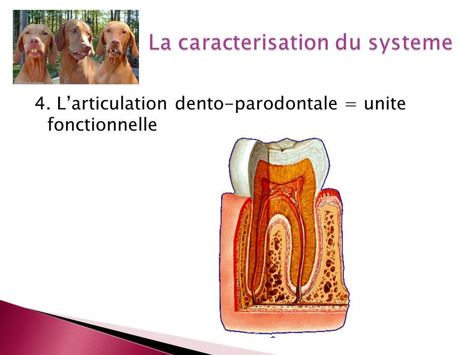 4. Larticulation dento-parodontale = unite fonctionnelle