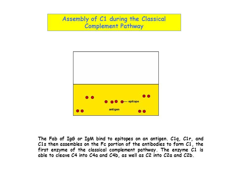 Récepteurs du complément NomLigand(s) DistributionFonction CR1 (CD35) iC3b, C4b B, phagocytes, GR, CFD élimination des CI liés aux GR opsonisation activation B CR2 (CD21)iC3b, C3dg B, cellules epitheliales activation B réc.