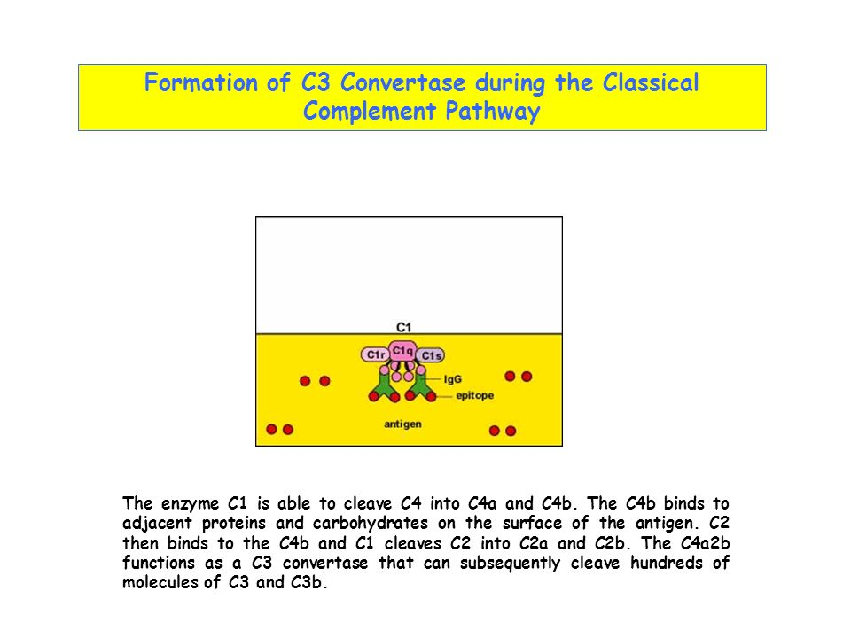 Formation of C3 Convertase during the Classical Complement Pathway The enzyme C1 is able to cleave C4 into C4a and C4b. The C4b binds to adjacent prot