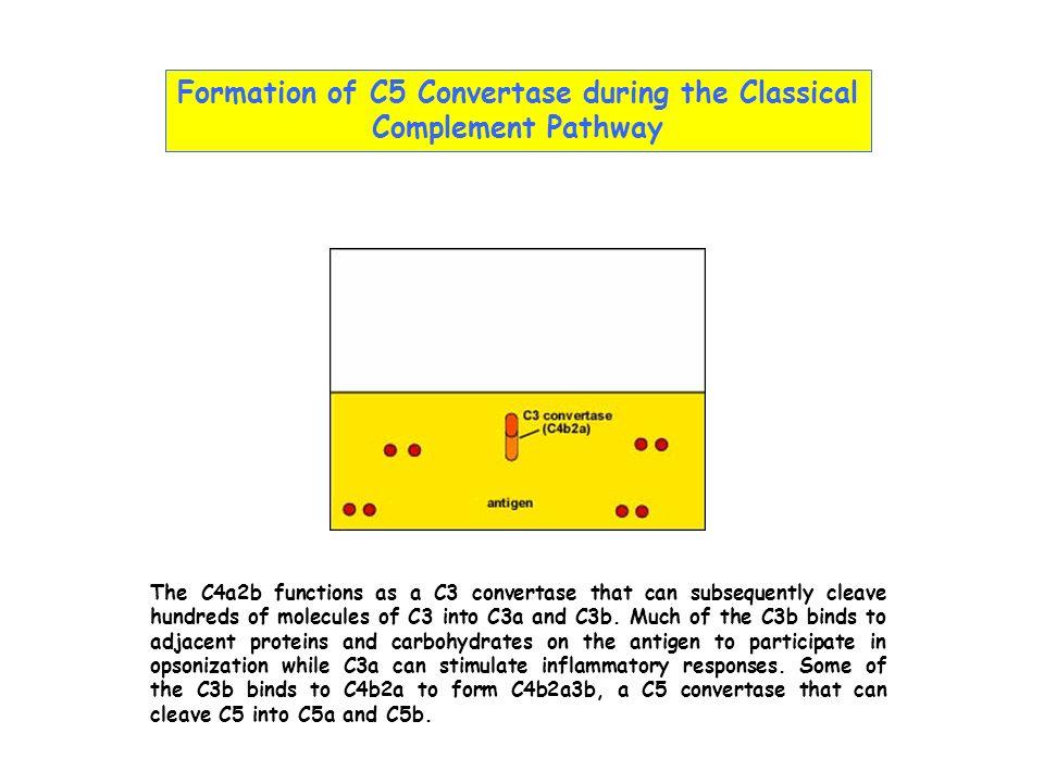 AnomalieClinique Ethiopathogénèse C3 nef- Glomérulonéphrite Auto-Ab qui stabilise le C3bBb membrano-proliférative Déficit en facteur H, I- GlomérulonéphriteDéfaut de régulation de lactivation membrano-proliférativede C3, avec inflammation chronique - Syndr.