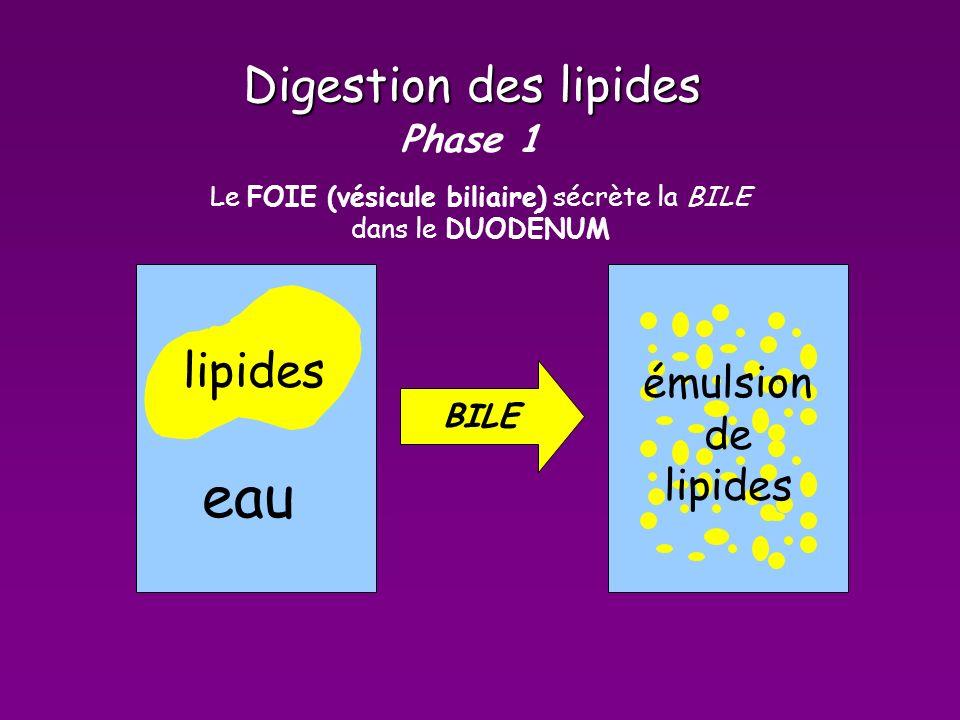 Digestion des lipides Phase 1 lipides eau émulsion de lipides Le FOIE (vésicule biliaire) sécrète la BILE dans le DUODÉNUM BILE