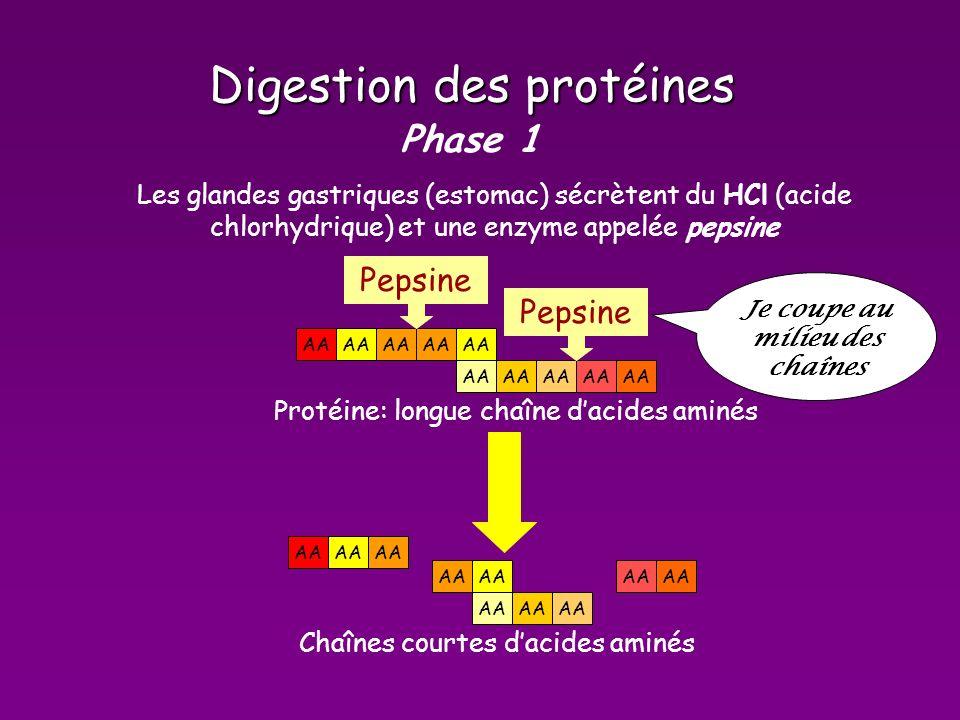 Digestion des protéines Phase 1 AA Protéine: longue chaîne dacides aminés Pepsine Les glandes gastriques (estomac) sécrètent du HCl (acide chlorhydrique) et une enzyme appelée pepsine Pepsine AA Chaînes courtes dacides aminés Je coupe au milieu des chaînes