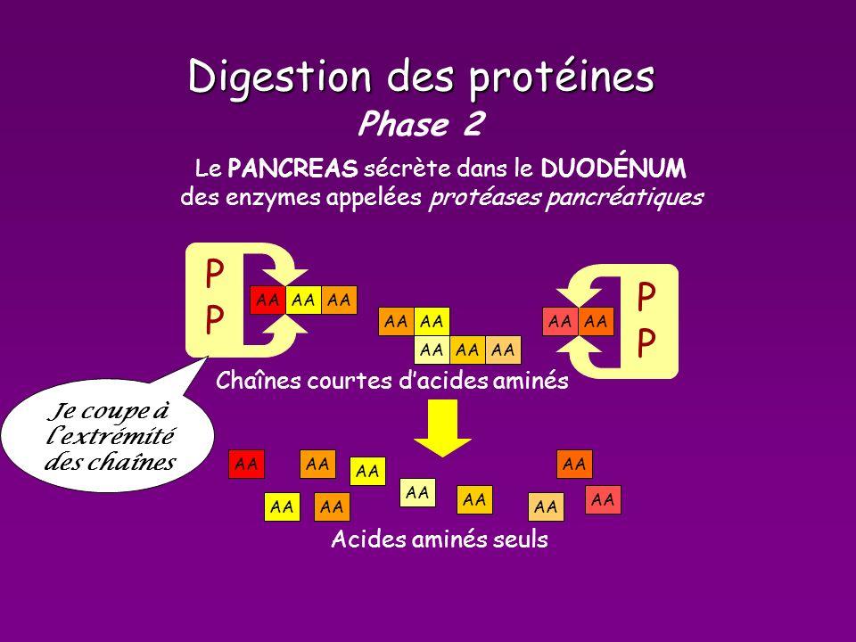 Digestion des protéines Phase 2 AA Chaînes courtes dacides aminés Le PANCREAS sécrète dans le DUODÉNUM des enzymes appelées protéases pancréatiquesP P AA Acides aminés seuls Je coupe à lextrémité des chaînes