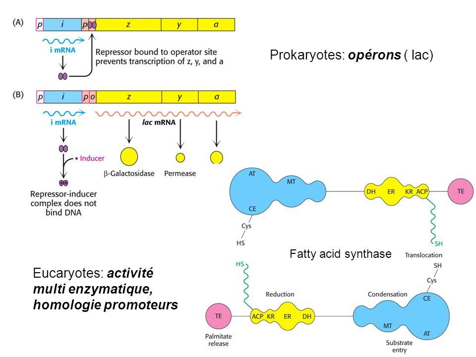 Exemple de bifurcation : synthèse cholestérol… AcAcCo-A +AcCoAMévalonateHMG-CoA IPP DMAPP Géranyl PP Farnésyl PP Squalène Cholestérol « Statines » Protéines géranylées, Protéines farnésylées, Coenzyme Q, Dolichol PP, Vitamine K, Chlorophyle, Carotènoïdes, terpenes etc.