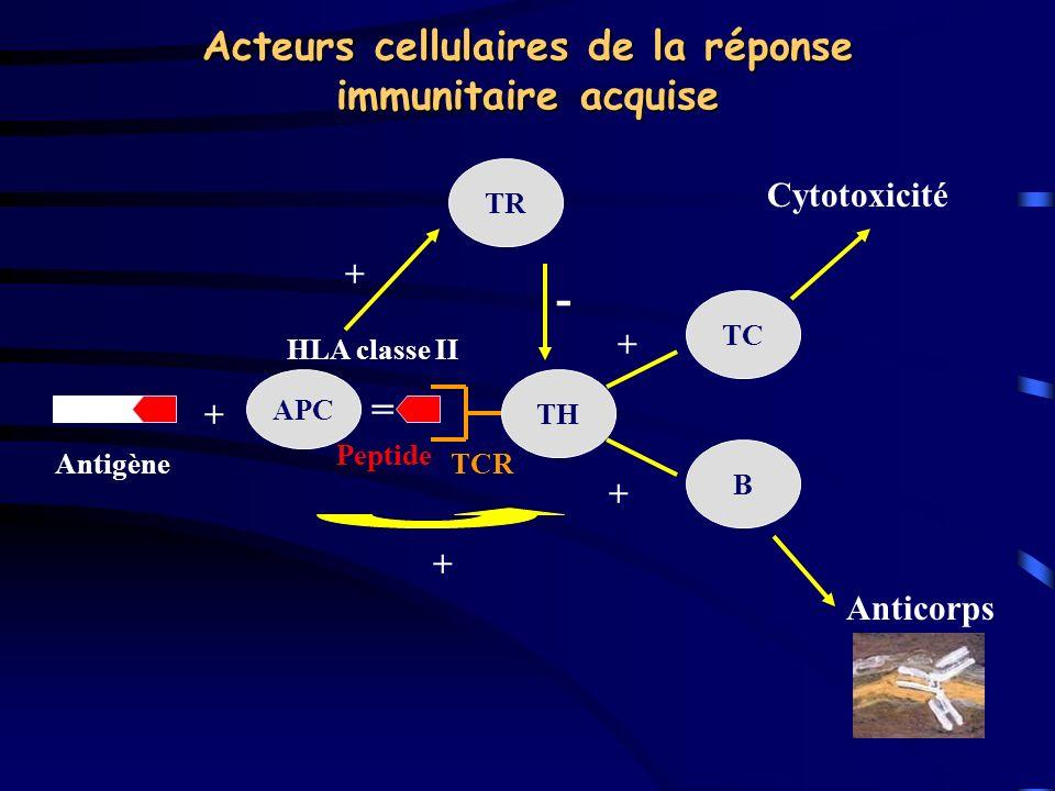 Acteurs cellulaires de la réponse immunitaire acquise APC + TR TH TC B Antigène = + + Cytotoxicité Anticorps - + HLA classe II Peptide TCR +