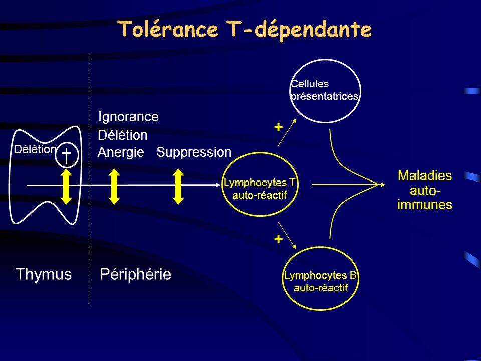 Tolérance T-dépendante Délétion ThymusPériphérie Ignorance Délétion Anergie Suppression Lymphocytes T auto-réactif Cellules présentatrices Lymphocytes