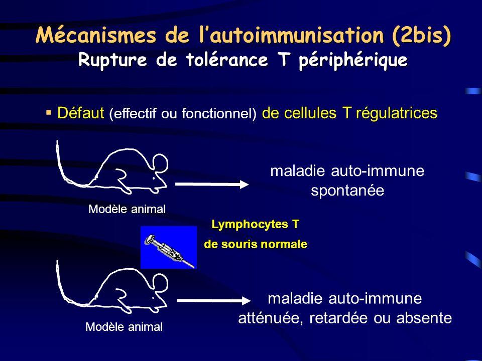 Mécanismes de lautoimmunisation (2bis) Rupture de tolérance T périphérique Défaut (effectif ou fonctionnel) de cellules T régulatrices Lymphocytes T d