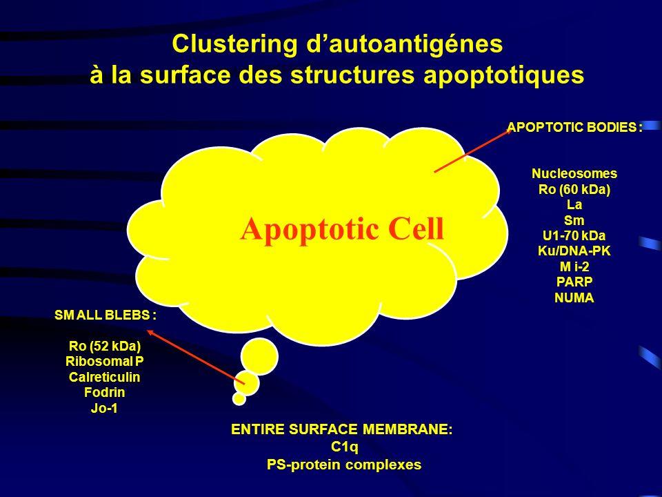 Apoptotic Cell APOPTOTIC BODIES : Nucleosomes Ro (60 kDa) La Sm U1-70 kDa Ku/DNA-PK M i-2 PARP NUMA SM ALL BLEBS : Ro (52 kDa) Ribosomal P Calreticuli